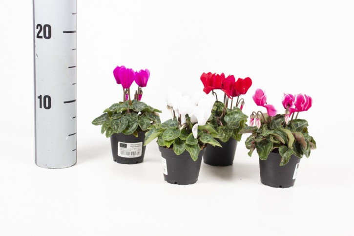 Cyclamen persicum T 6,5 MINI MIX