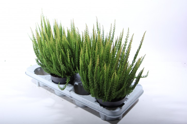 Calluna vulgaris T 13 SkyLine® 'Stockholm' (grünlaubig)