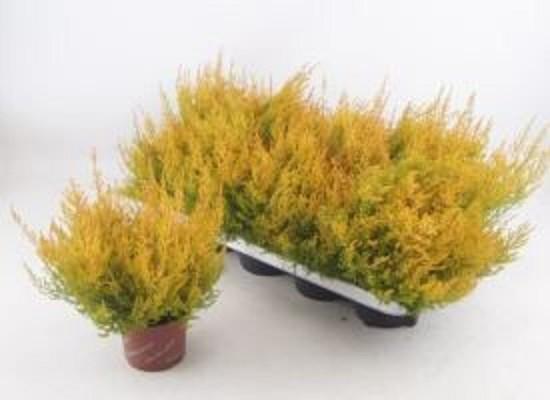 Erica gracilis T 12 'Heidis®' MIX