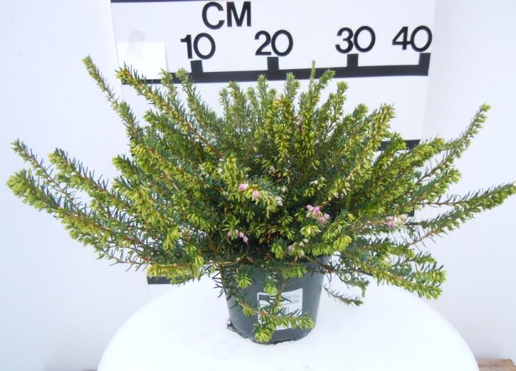 Erica darleyensis T 12 'Darley Dale' (rosa) 20/23