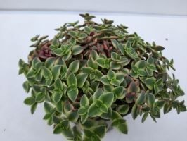 Crassula ovata 'Desert Diamond' T 13