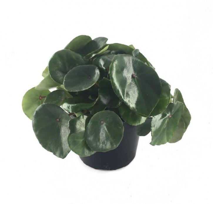 Begonia conchifolia T 12
