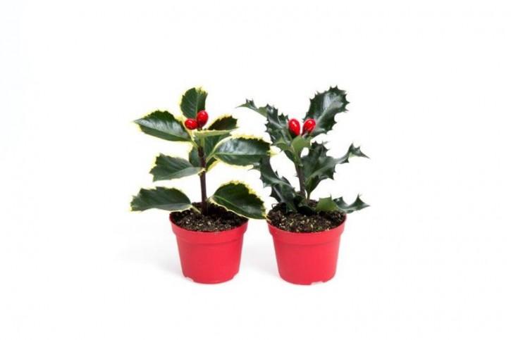 Ilex aquifolium BUNT T 6 MINI (mit 2 Kunstbeeren)