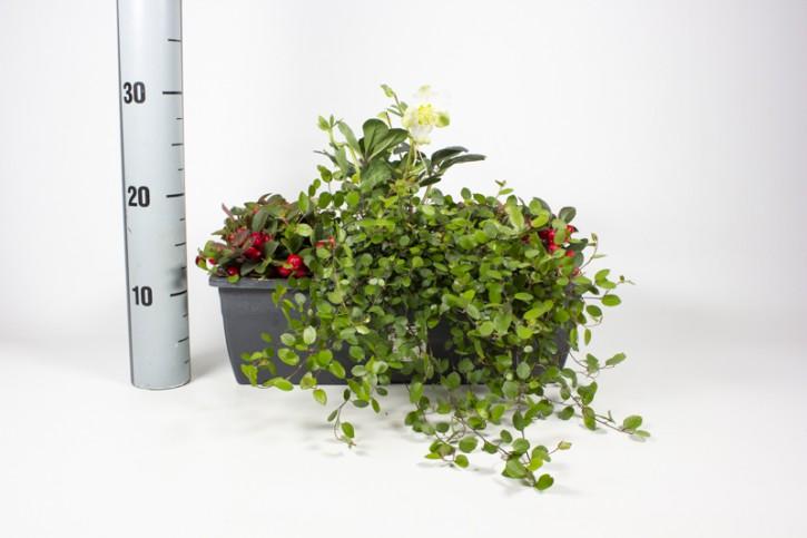 Herbst-Balkonkasten 40 cm (Gaultheria, Helleborus, Muehlenbeckia)