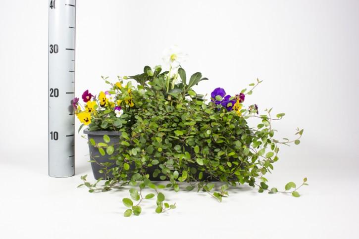 Herbst-Balkonkasten 40 cm (Viola, Helleborus, Muehlenbeckia)
