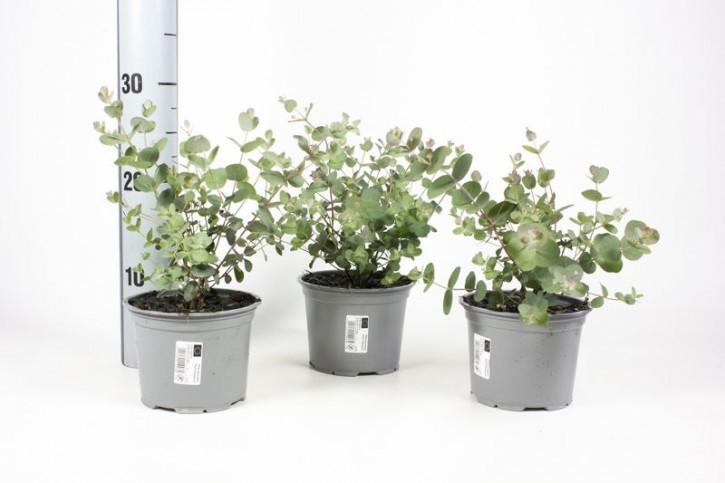 Eucalyptus gunnii T 13