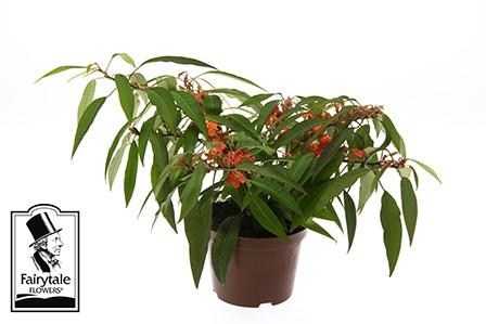 Euphorbia fulgens T 10,5