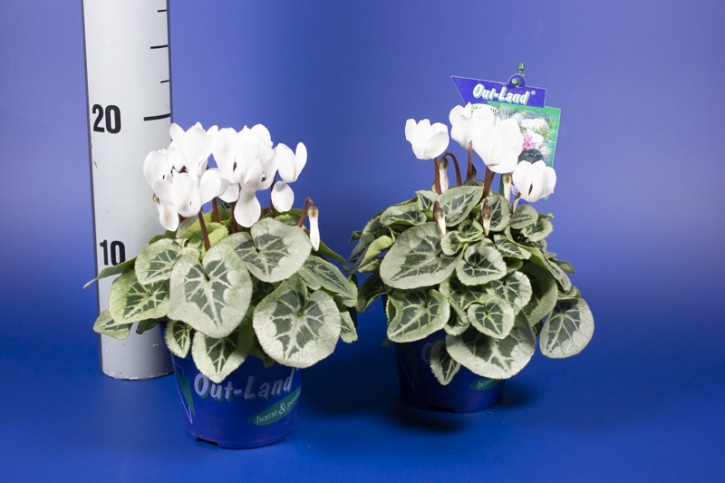 Cyclamen persicum T 11 'Picasso' MIDI  WEISS