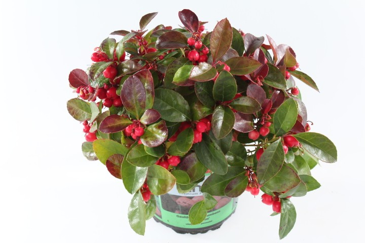 Gaultheria procumbens 'Kings' T 13