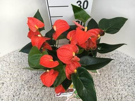 Anthurium-Andreanum-Hybrid T 10,5 (orange) 'Solara'