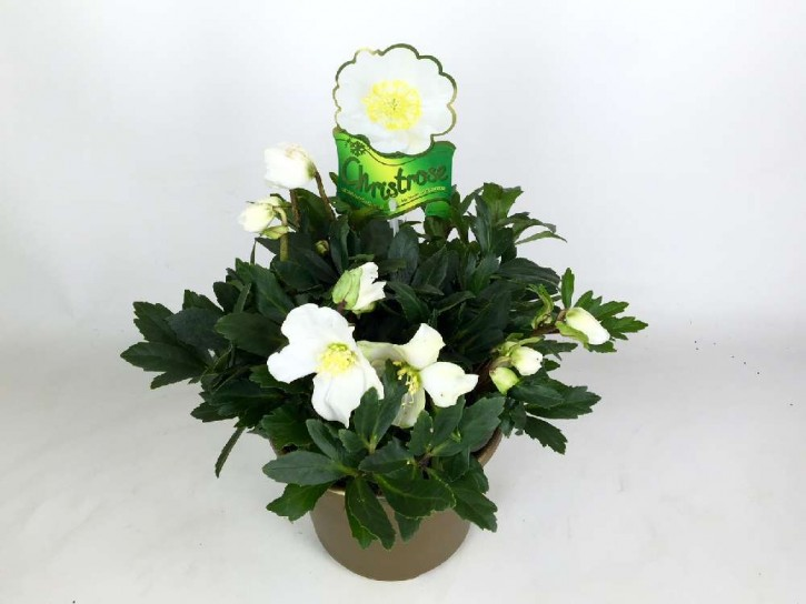 Helleborus niger 'HGC Wintergold'® T 19