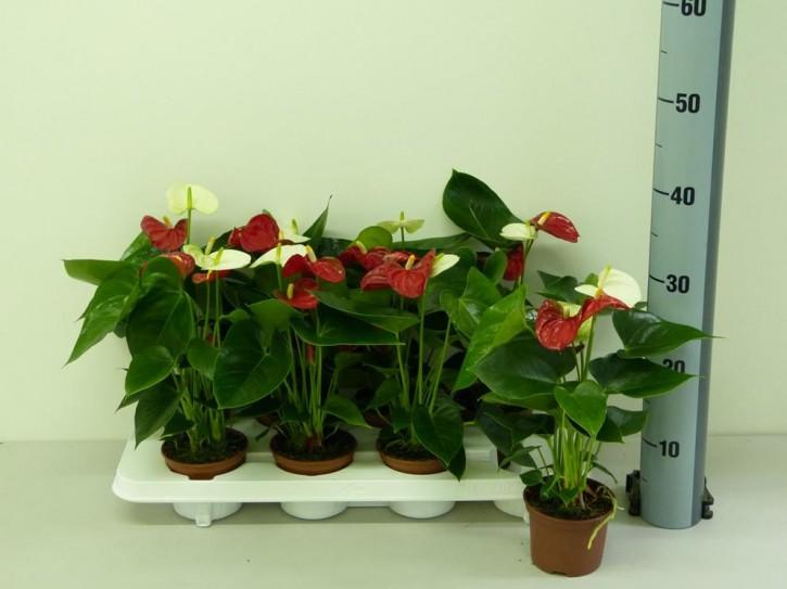 Anthurium-Andreanum Hybrid T 10,5 (rot + weiß) 'Sierra' TWIN