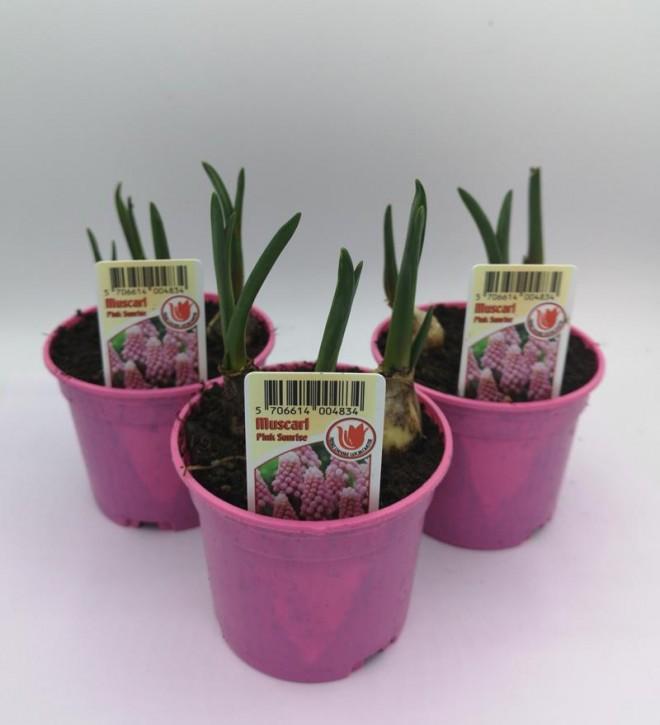 Muscari armeniacum 'Pink Surprise' T 9