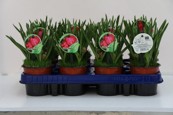 Tulipa rot gefüllt T 9,5