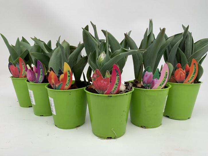 Tulipa-Hybriden T 11 (3 ppp) PINK