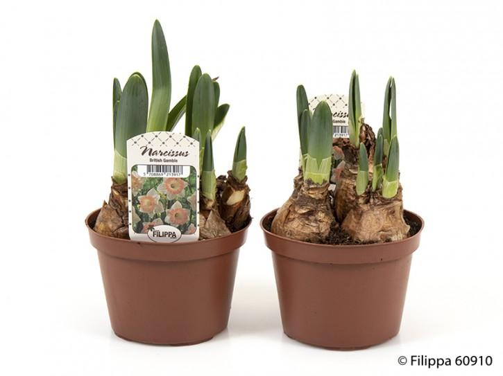 Narcissus T 11 'British Gamle'  weiß, lachs Mitte