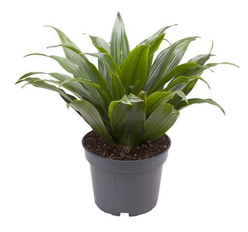 Dracaena deremensis 'Janet Graig'    T 12