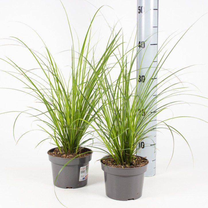 Carex brunnea 'Magic Green' T 13