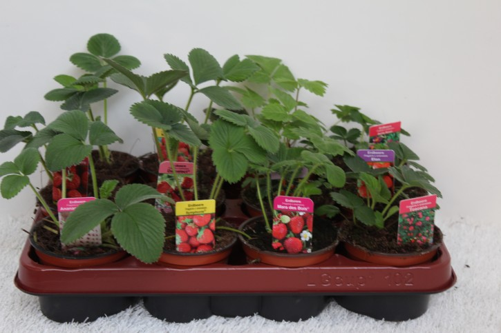 Erdbeere T 9,5 CC-MIX (MIT Sortenschutz)