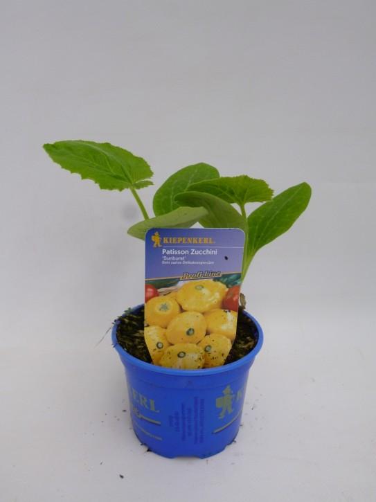 Zucchini (gelb) 'Sunburst'   T 10,5