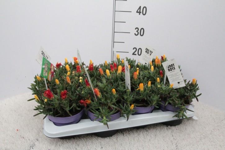 Lampranthus glaucoides T 14