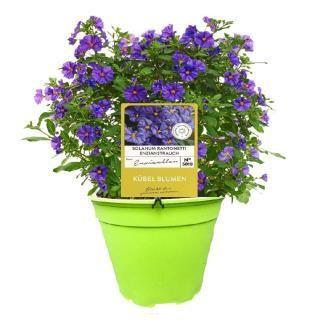 Solanum rantonnetii T 19 Busch BLAU