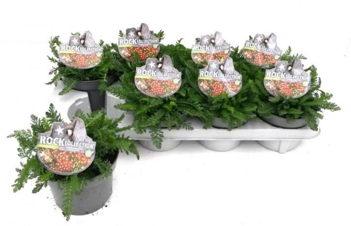 Achillea millefolium T 13 ROT