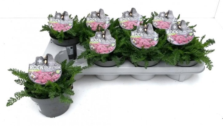 Achillea millefolium T 13 PINK