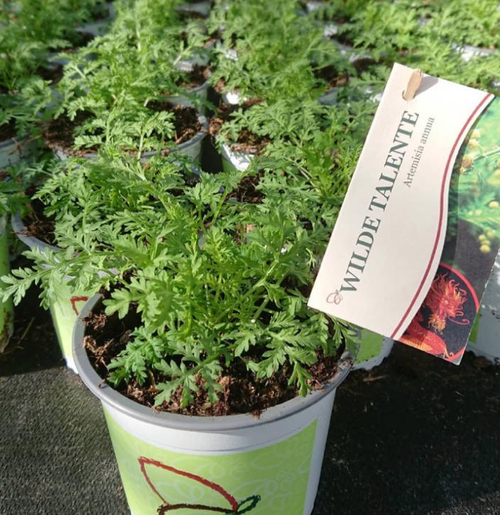 Artemisia annua  T 13