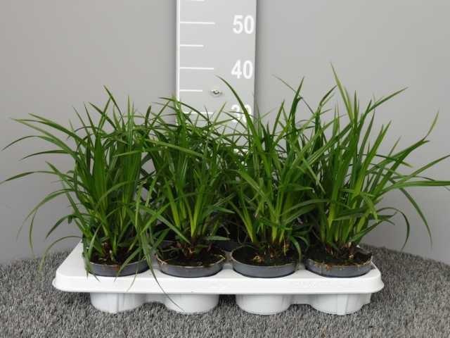 Carex foliosissima 'Irish Green'   T 12