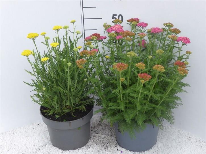 Achillea millefolium T 23 MIX