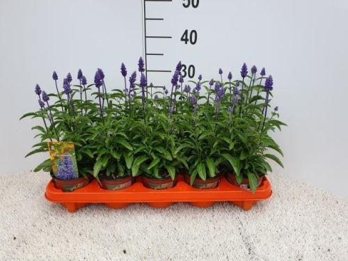 Salvia farinacea T 11