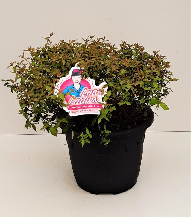 Abelia grandiflora   T 26   'Lynn Pinky Bells'
