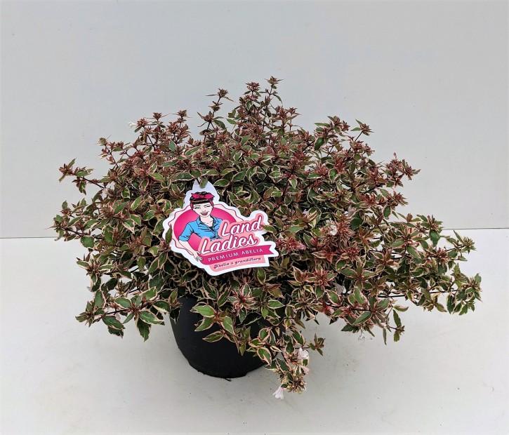 Abelia grandiflora 'Lady Karneval'   T 26