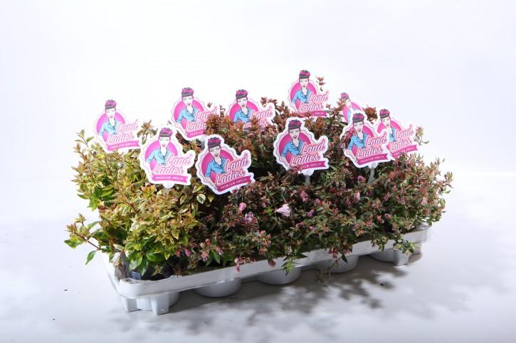 Abelia grandiflora LAND LADIES   T 11  MIX-Palette