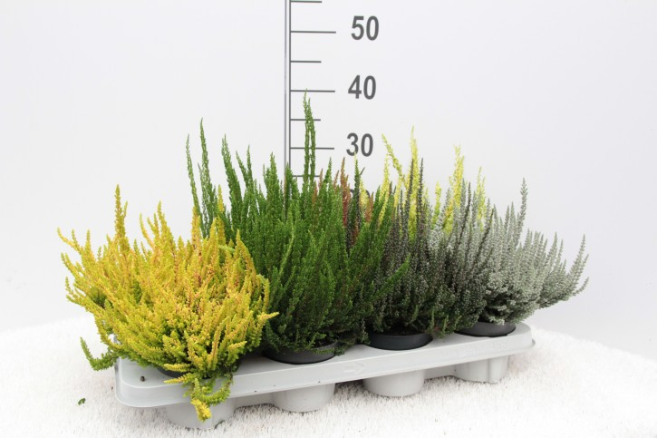 Calluna vulgaris  T 11  GardenGirls Sunset®  'Zilly'