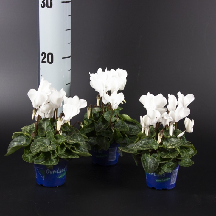 Cyclamen persicum Out-Land   T 6   Mini   WEISS