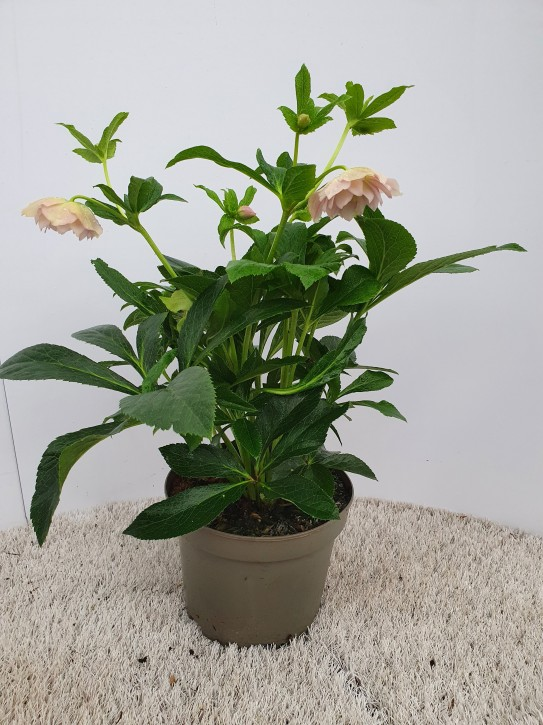Helleborus orientalis   'Vera'   T 19