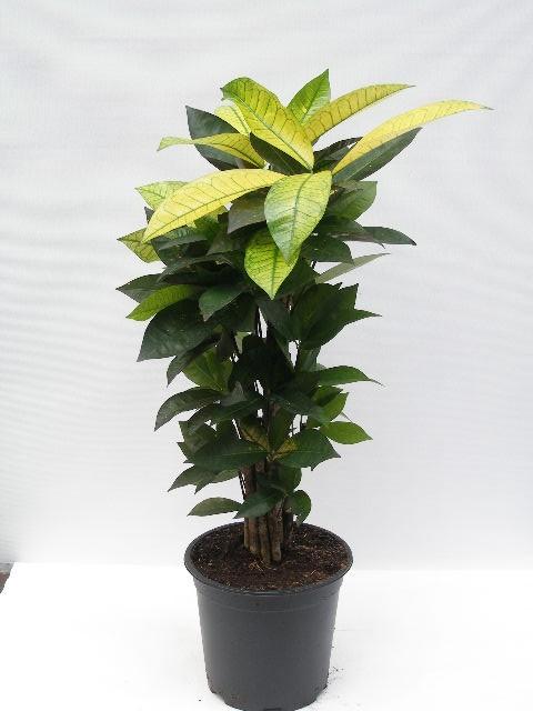 Codiaeum variegatum 'Mrs. Iceton'   T 24   90 cm