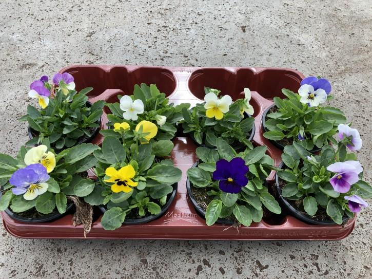 Viola cornuta T 9