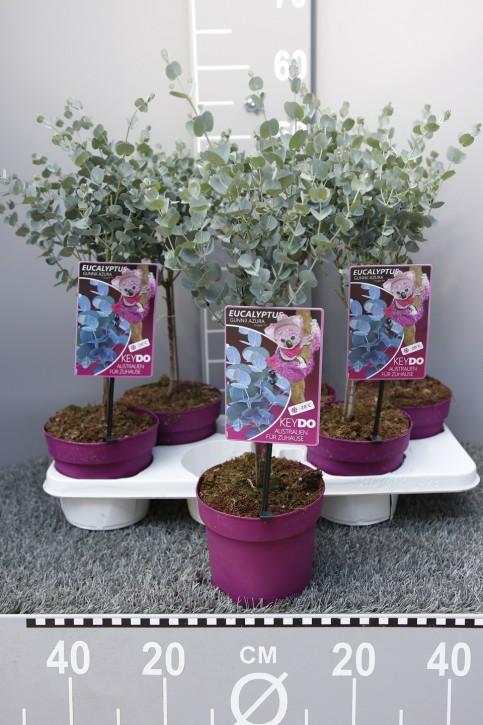 Eucalyptus gunnii 'Azura®' T 15 Stamm