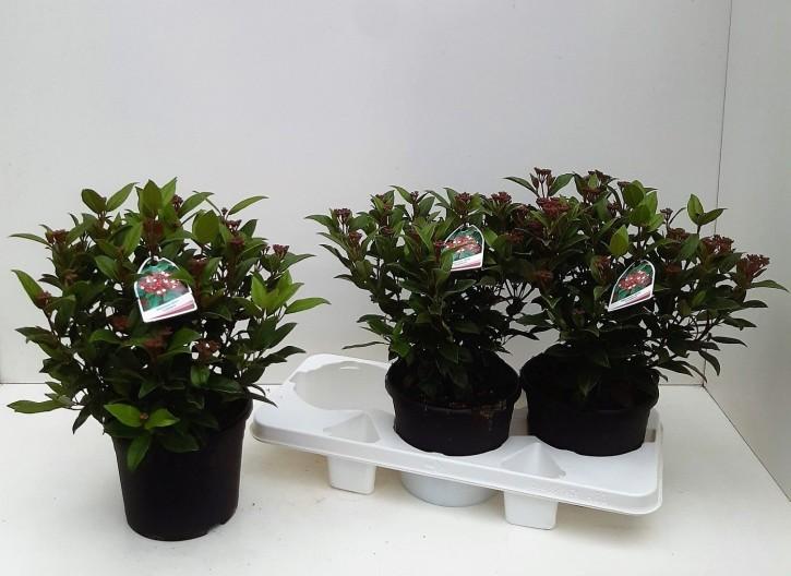 Viburnum tinus 'Ladybird' T 19