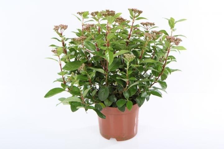 Viburnum tinus T 15