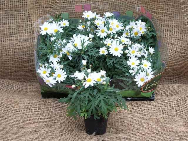 Argyranthemum frutescens 'Dana' T 6 Mini