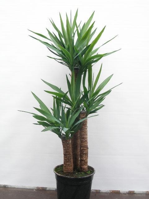Yucca elephantipes   T 24  (60/30/15)   110 cm