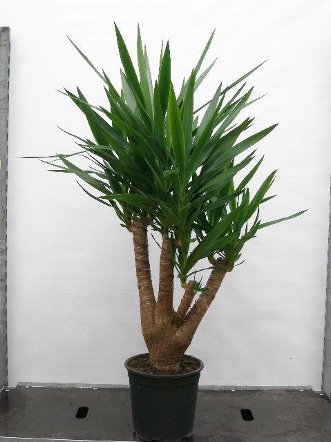 Yucca elephantipes   T 27  (90/45/25)   130 cm