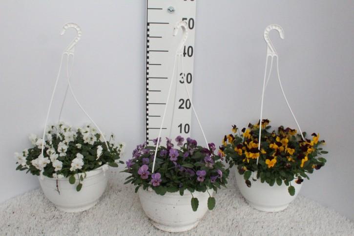 Viola cornuta T 27 Ampel  • VE 5