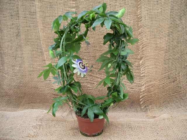 Passiflora caerulea T 12,5 Bogen