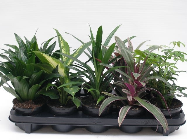 Grünpflanzen-Sortiment T 11 MIX