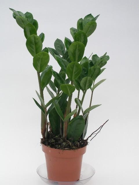 Zamioculcas zamiifolia T 12